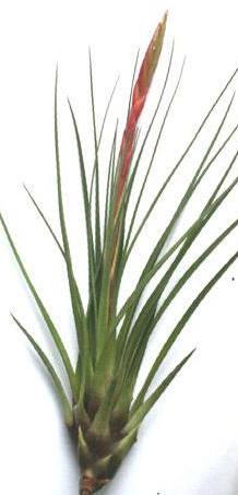 Tillandsia melanocrater var. tricolor (Tillandsia concolor)